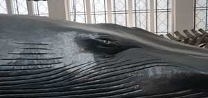 natural history museum london blue Whale