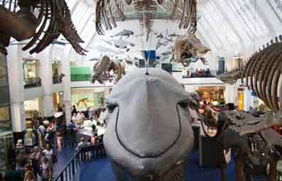 Blue Whale at the Natural History Museum London