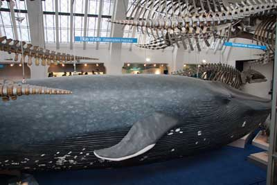 natural history museum blue whale